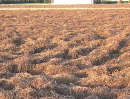 Chufas a punto de cosechar
