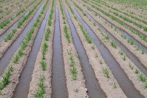 Plantación de Chufa